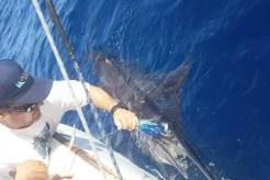 Nuno Mato co-ordinating the release of a Black Marlin off Inhaca Island