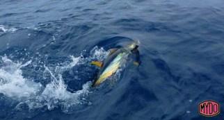 Huge tuna problem in Spain for kayak anglers