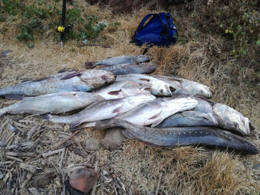 A pile of kob in PSJ lately. These fish are in their breeding cycle and spawn in our estuaries. They are extremely vulnerable and need protection, not exploitation, at this particular time.