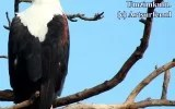 The Fish Eagles of the Umzimkulu wake lodge guests at the Umzimkulu Marina, each morning. Don't worry though, they start at a reasonable hour - fishing time!