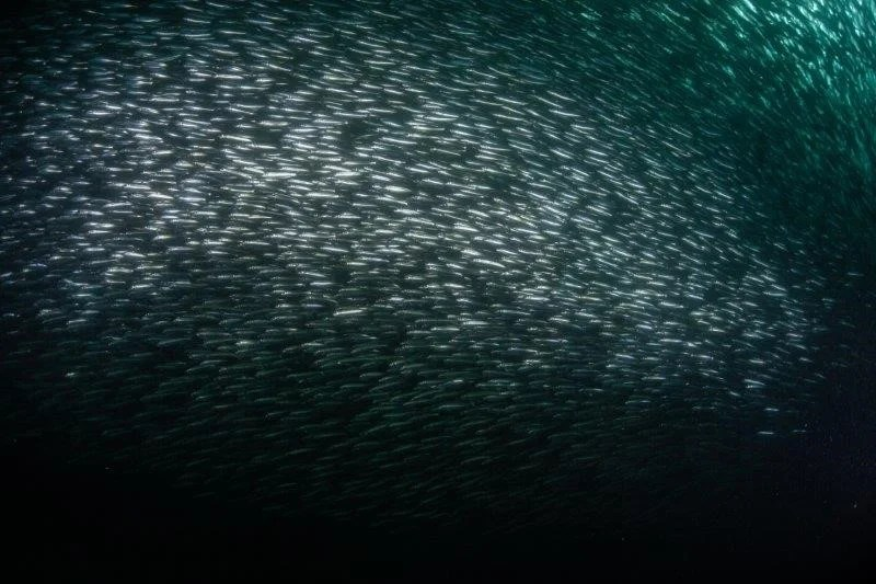 Sardine Run from a spearo's POV: video by Breathless