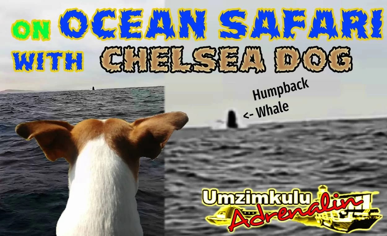 Ocean Safari with Chelsea Dog and the B2 Humpback Whales