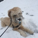 wheaten terrier in snow