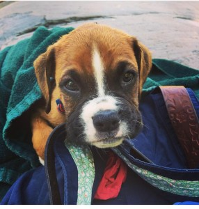 Sad boxer puppy looking very guilty as well as cute