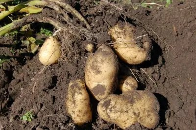 Freshly harvested potatoes surrounded by dirt held in garden gloves.