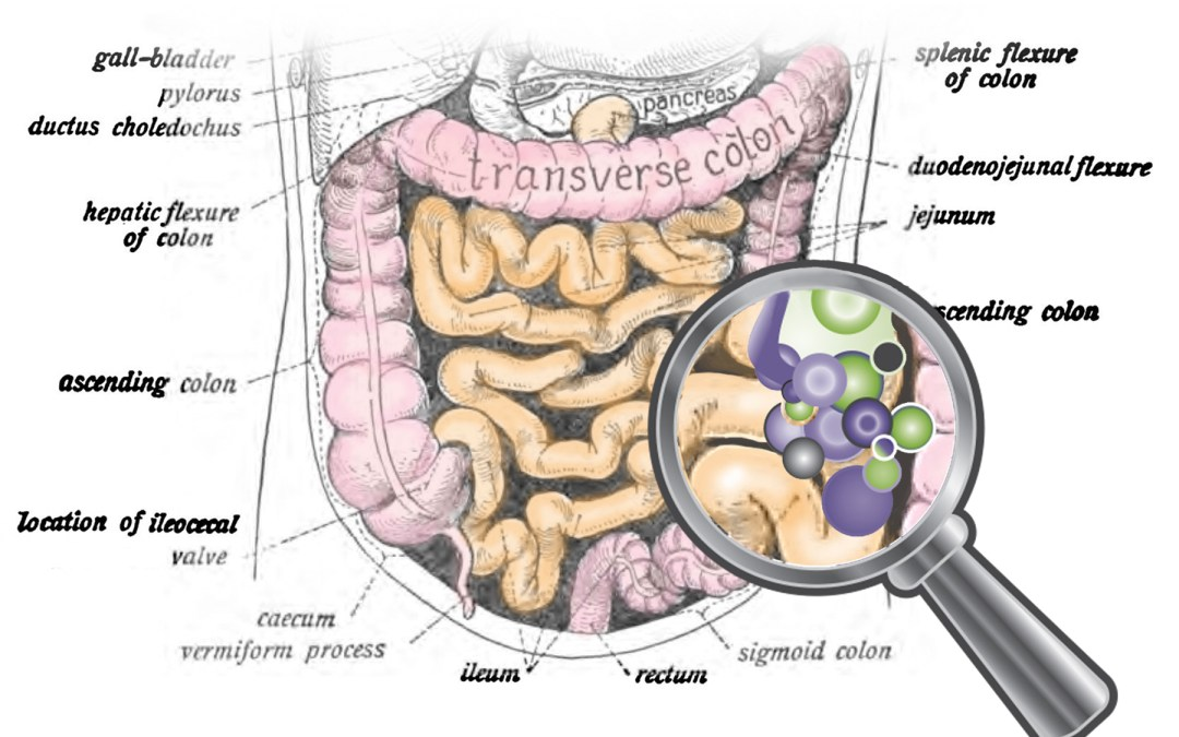 Savvy on The Gut Microbiome and Inflammation