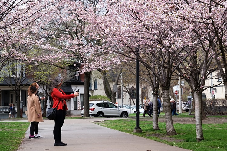 11 Places you can find beautiful cherry blossoms in Toronto! #cherryblossoms #sakura #Toronto #travel