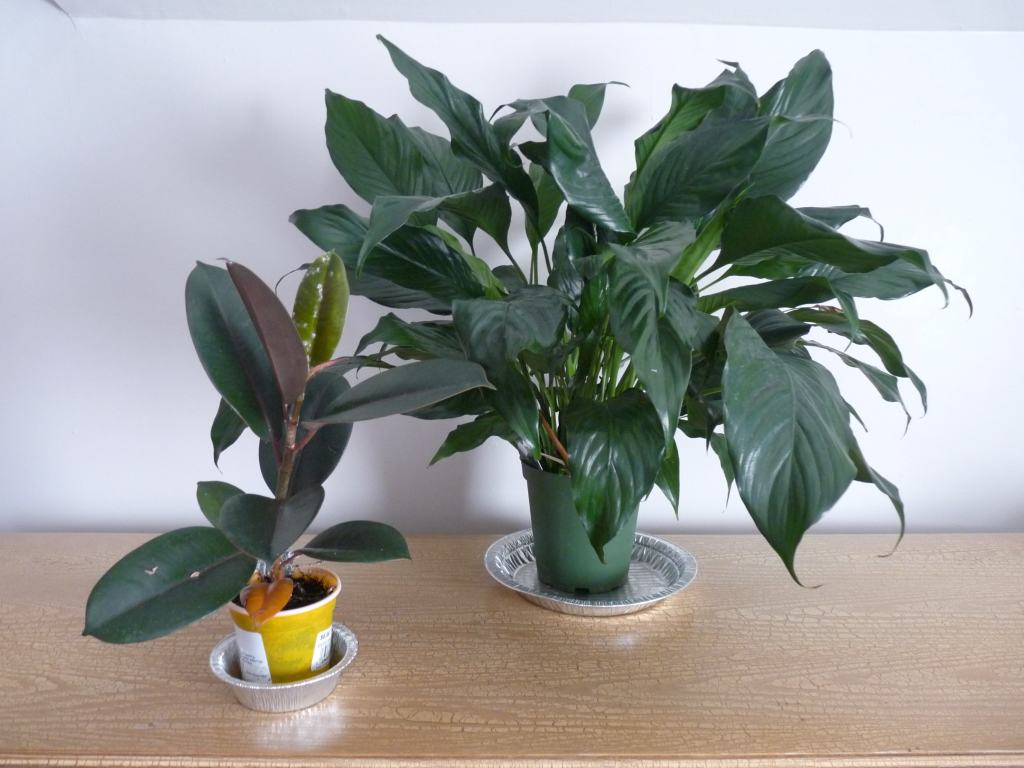 Increase house humidity with Peace Lily and Rubber plant
