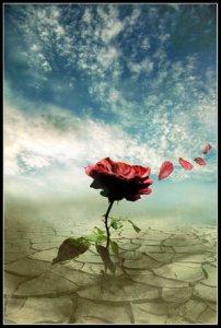 rose-in-the-desert