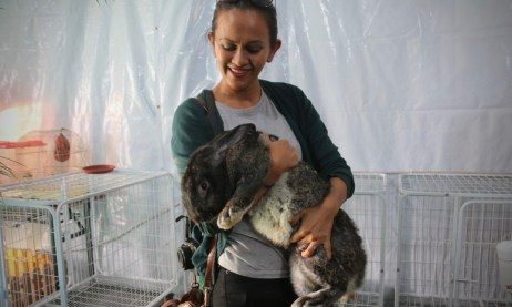 A visitor holding onto a Flemish Giant rabbit. Photo: Rafidah Hamit/The Scoop