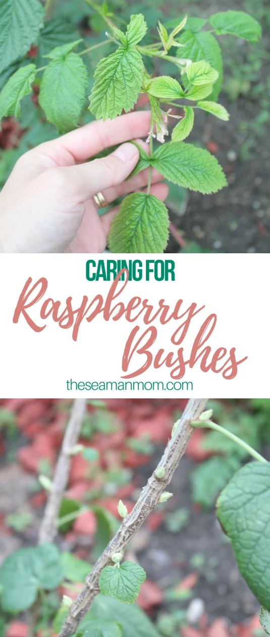 Caring for raspberry bushes