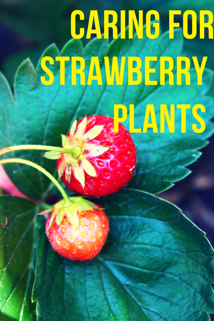 Strawberry plant care tips