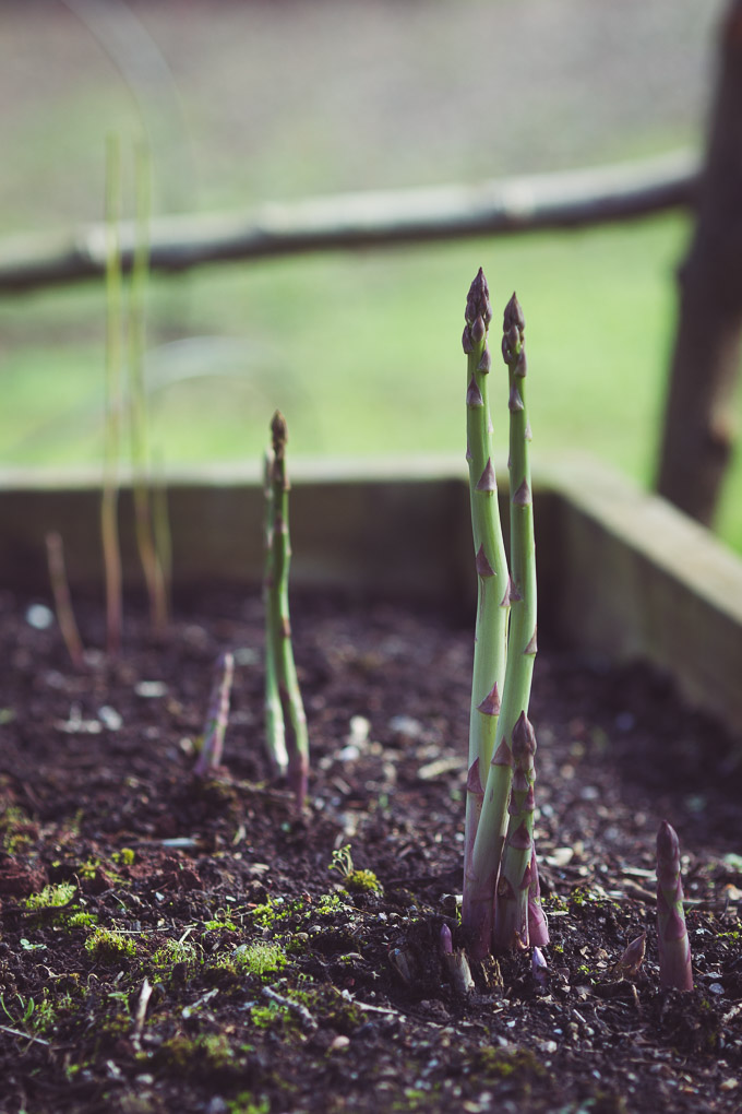 The Asparagus Bed -- First asparargus spears of the season | http://theseasonaltable.co.uk/smallholding/the-asparagus-bed/