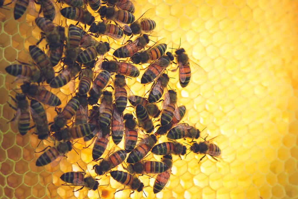 Beekeeping - A Late Spring Beehive Inspection -- Honeybees on frame | https://theseasonaltable.co.uk/smallholding/beekeeping-late-spring-beehive-inspection/