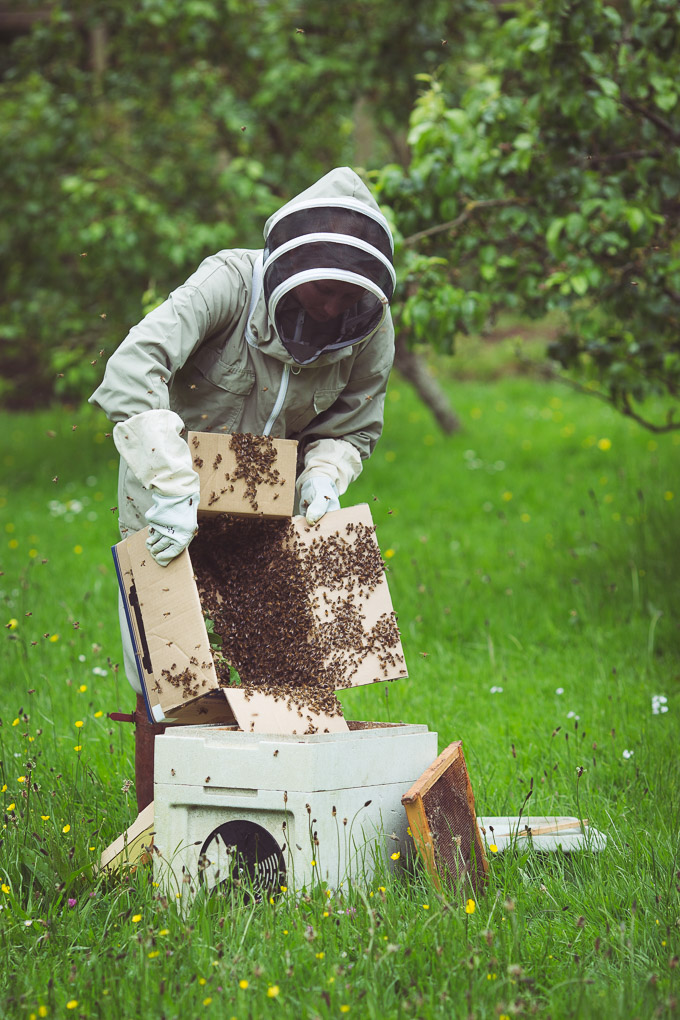 A Swarm in the Plum Tree -- Kathy pouring swarm into poly nuc | https://theseasonaltable.co.uk/smallholding/a-swarm-in-the-plum-tree/