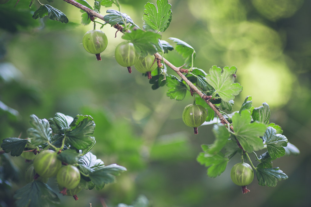 Gooseberry Soda -- pick the gooseberries when ripe | https://theseasonaltable.co.uk/drinks/gooseberry-soda/