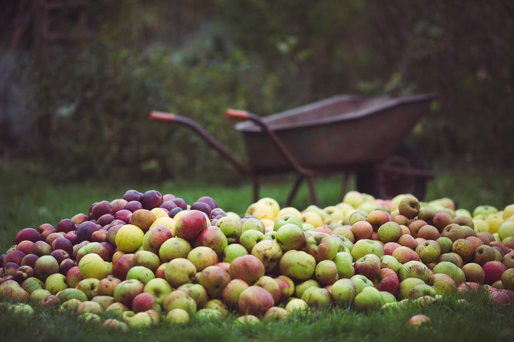 Apple Pressing Weekend -- Ready to be pressed | https://theseasonaltable.co.uk/smallholding/apple-pressing-weekend/