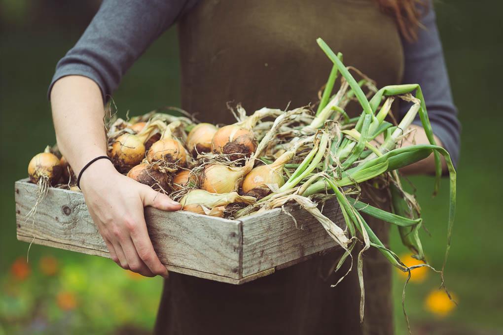 Onion, Leek and Bay Soup -- Centurion Onions | https://theseasonaltable.co.uk/savoury/onion-leek-bay-soup/