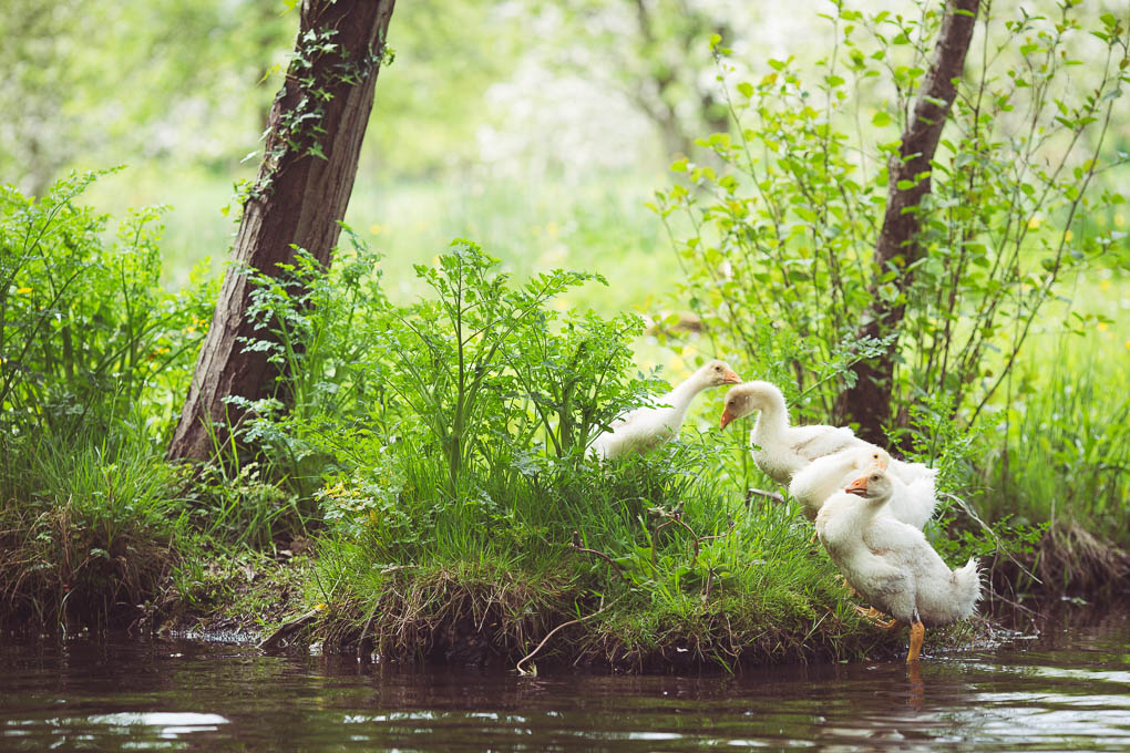 Keeping Geese Part 3 - Fencing -- Goslings in the stream -- UK Smallholding | https://theseasonaltable.co.uk/smallholding/keeping-geese-part-3-fencing/