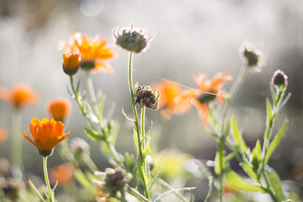 Planning the Vegetable Garden -- Marigolds / Calendula -- Seasonal Food UK | https://theseasonaltable.co.uk/smallholding/planning-vegetable-garden/