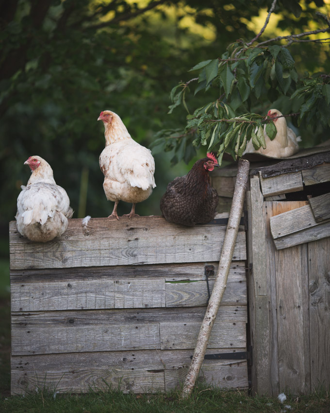 Chickens: Creating a Dual-Purpose UK Easter Egger Flock – Part 3 | Free rang chickens | https://theseasonaltable.co.uk/smallholding/chickens-creating-a-dual-purpose-uk-easter-egger-flock-part-3/