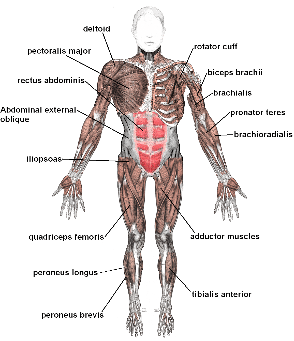 The Basic Muscles In The Human Body