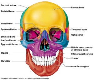 Skull Diagrams | These Bones Of Mine