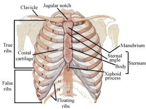 Skeletal Series Part 5: The Human Rib Cage | These Bones