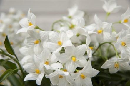 Solanum album