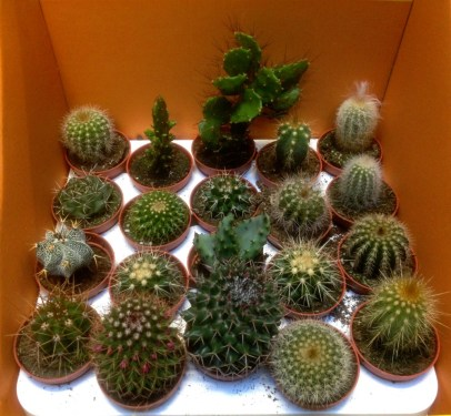 Mini Cacti are £1.99 each or 6 for £10