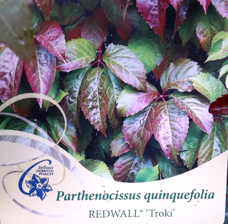 Red Wall™ Virginia Creeper Parthenocissus quinquefolia 'Troki'