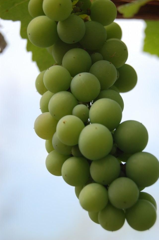 Grapes of celebration????