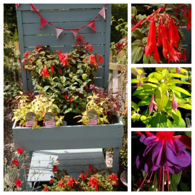Plant of the week: Fuschia