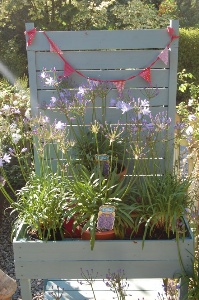 Plant of the week Agapanthus2