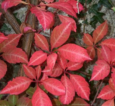The autumn tones of Parthenocissus henryana Image credit: Roseland House
