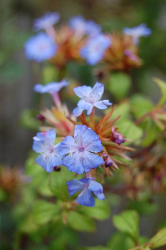 Ceratostigma willmottianum Forest Blue 'Lice'