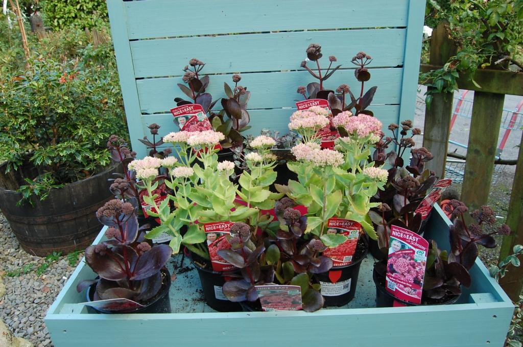 Plant of the week Sedum