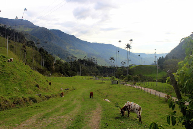 Cows and wax palm trees in Cocora Valley, Salento, Colombia