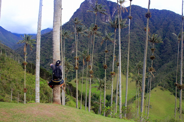 Climbing a palm tree in Cocora Valley, Colombia