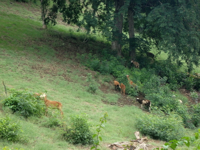 Fawns in Mustique island