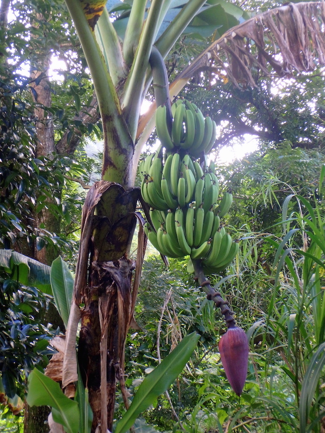 Banana tree in St. Lucia