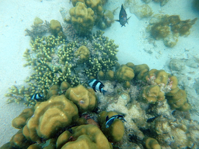 Colorful fishes and corals while snorkeling at Le Morne in Mauritius