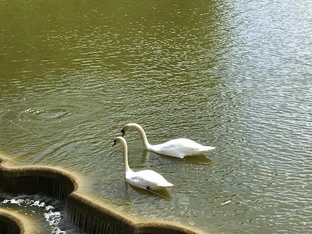 Swans in Villandry castle