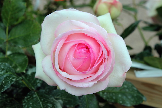A rose in the garden of Villandry castle