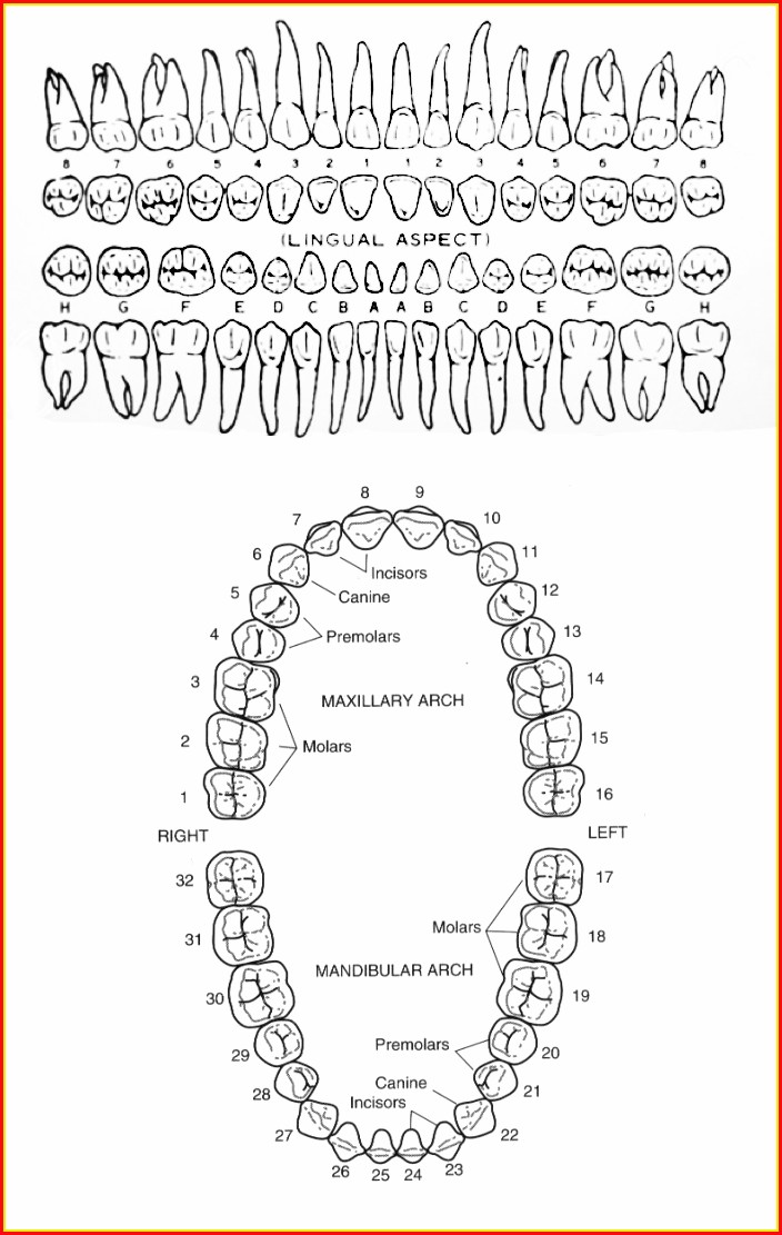 Human Teeth Number Diagram