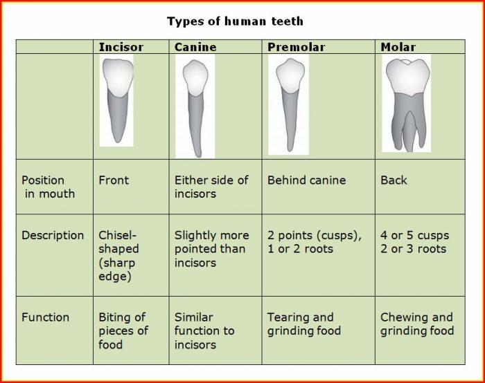 Types Of Human Teeth Diagram