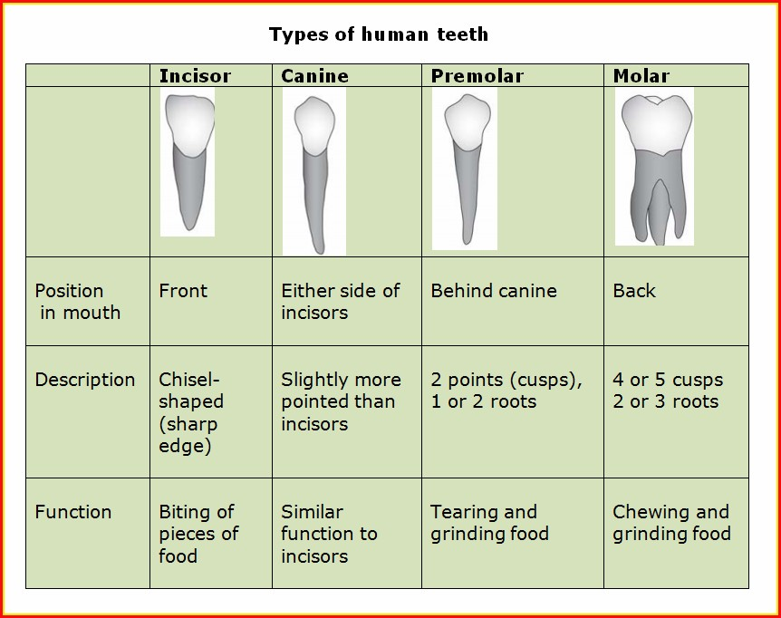 Types Of Human Teeth Diagram