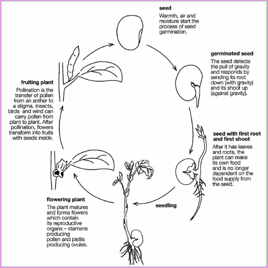 Life Cycle Of Flowering Plants Worksheet Grade 5