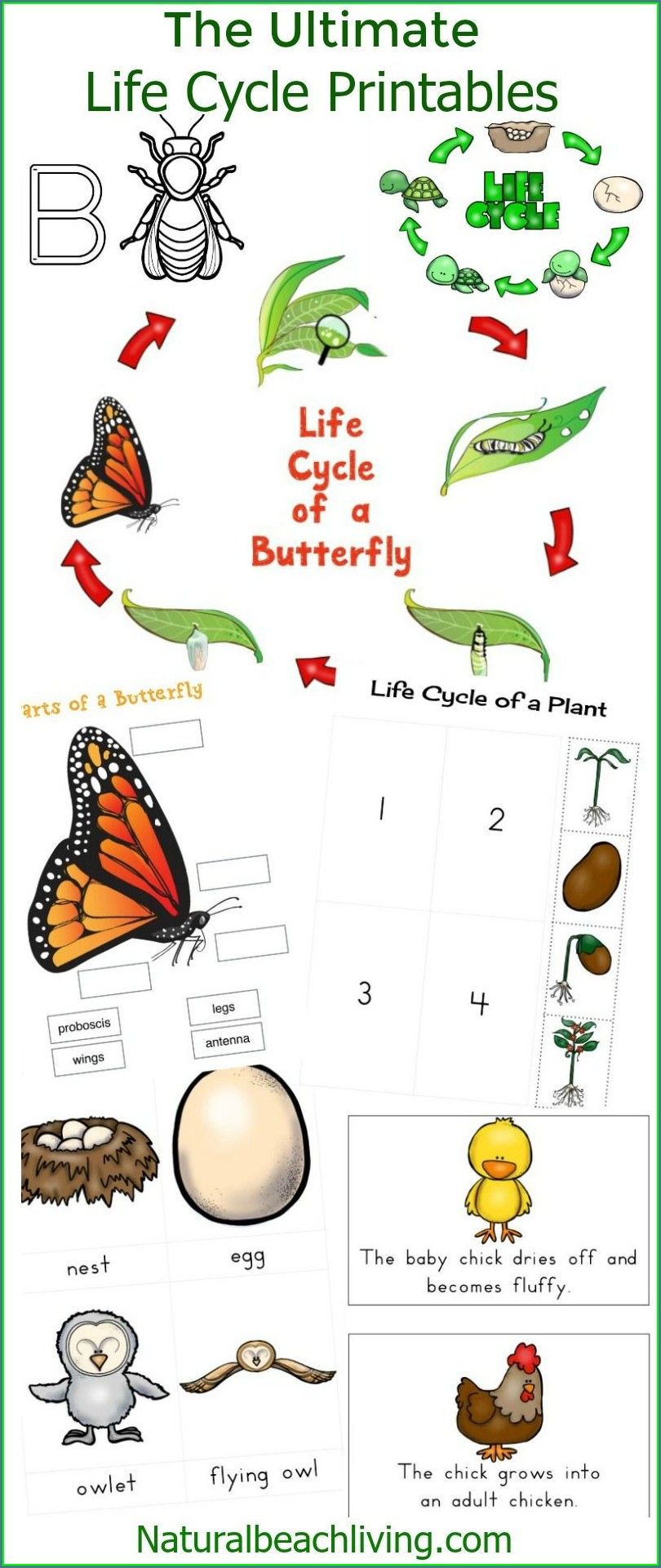 Preschool Life Cycle Of A Butterfly Worksheet Free Printable