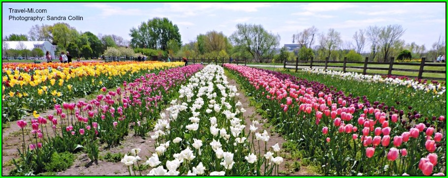 Holland Mi Tulip Festival Map